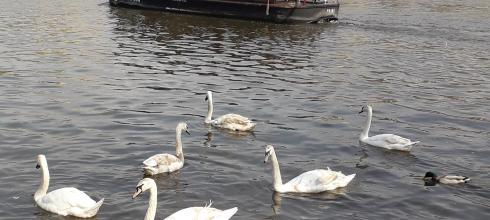 Geese swimming past a river boat