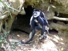 A group of black and white colobus monkeys eating soil from a hole under a tree.