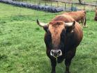 This was the first time I had ever seen a bull in someone's backyard.