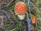 Some mushrooms are toxic, like this beautiful toadstool Amanita muscaria