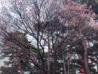 Cherry tree before blossoming