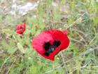 An upclsoe view of the poppy flower, my favorite that I have seen here in Tbilisi