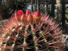 A cactus with pink spikes