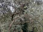 When you look closer, you can see the olives growing