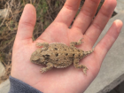 """A closeup picture of a greater short-horned lizard (often called """"horned toad"""") outside Green River High School"""