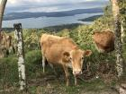 Cow on the side of the road--a not uncommon sight in Costa Rica!