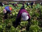 Farmers picking up crops (Google Images)