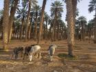 The donkeys I would typically see at the date palms
