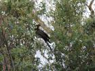 Here it is, the yellow-tailed black cockatoo! This is the first time in two years that I saw one perched on a tree